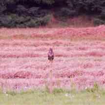 Musvåge i høst